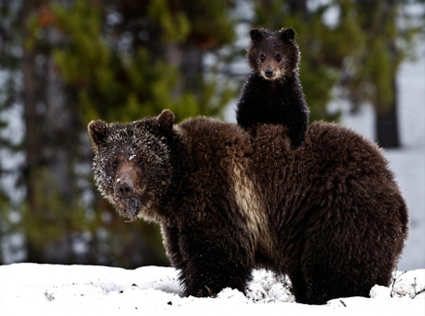 grizzly-bear-cub-snow-ga.jpg